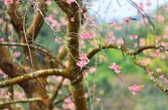 Fleur de l'Himalaya sauvage de cerise Photo stock