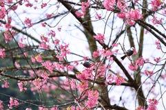 Fleur de l'Himalaya sauvage de cerise Image libre de droits
