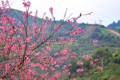 Fleur de l'Himalaya sauvage de cerise Photos stock