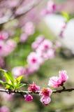 Fleur de l'Himalaya sauvage de cerise Images libres de droits