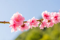 Fleur de l'Himalaya sauvage de cerise Photographie stock libre de droits