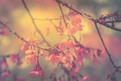 Fleur de l'Himalaya sauvage de cerise avec style de vintage d'effet de filtre le rétro Image libre de droits
