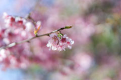 Fleur de l'Himalaya sauvage de cerise de foyer mou Photographie stock libre de droits