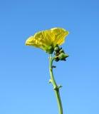 Fleur de l'usine de luffa avec la coccinelle Image libre de droits