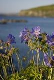 Fleur de la campanule de Terre-Neuve Photos libres de droits