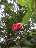 Fleur de la Chine photographie stock