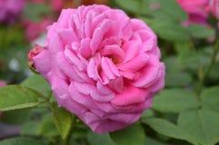 FLEUR DE LA CHINE ROSE Image stock
