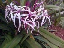 Fleur de la Floride Image libre de droits