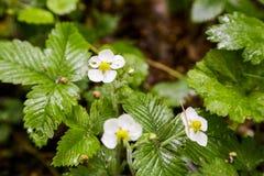 Fleur de la fraise Photo libre de droits