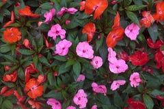 Fleur de la Nouvelle-Guinée Impatiens Photos stock