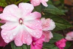Fleur de la Nouvelle-Guinée Impatiens Photo stock