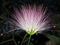 Fleur de la nuit Images stock
