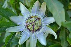Fleur de la passion photos libres de droits