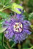 Fleur de la passion photos stock