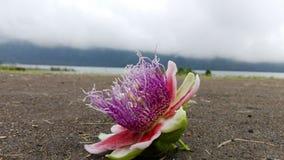 Fleur de la passion Photographie stock