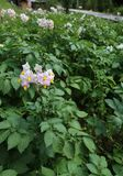 Fleur de la plante de pomme de terre dans une grande culture dans le mountai Image stock
