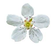 Fleur de la poire 5 Photographie stock