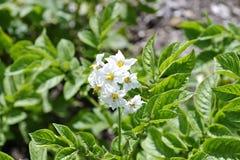 Fleur de la pomme de terre solanum tuberosum photo libre de droits