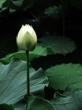 Fleur de la pureté Image libre de droits