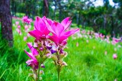 Fleur de la Thaïlande Photos libres de droits