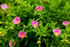 Fleur de la Thaïlande Images stock