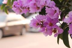Fleur de Lagerstroemia photos stock