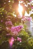 Fleur de Lagerstroemia Photos libres de droits