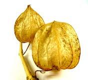 Fleur de Lampion Photo libre de droits