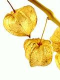 Fleur de Lampion Photographie stock libre de droits