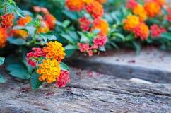 Fleur de Lantana sur la terre en bois Photographie stock libre de droits