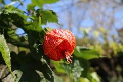 Fleur de lanterne Images libres de droits