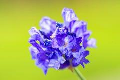 Fleur de lavande Image libre de droits