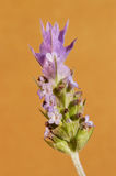 Fleur de lavande Photos libres de droits