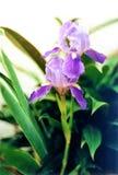 Fleur de lavande Photographie stock libre de droits