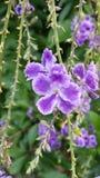 Fleur de lavande Image stock
