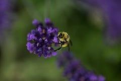 Fleur de lavande dans le jardin, parc, arrière-cour, fleur de pré en Th Photographie stock libre de droits
