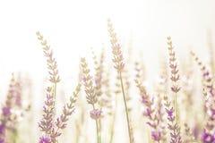 Fleur de lavande dans le jardin, parc, arrière-cour, fleur de pré en Th Images stock