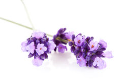 Fleur de lavande en plan rapproché Photographie stock libre de droits