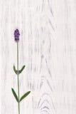 Fleur de lavande sur le fond en bois blanc de table image stock