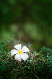 Fleur de Leelawadee aucune 3 Photographie stock