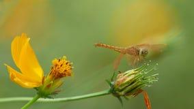 Fleur de libellule et de cosmos banque de vidéos