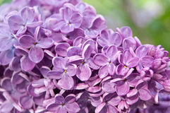 Fleur de lilas de plan rapproché Images stock