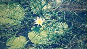 Fleur de Lilli photos stock