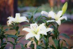 Fleur de Lilly Photo stock