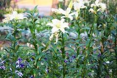Fleur de Lilly Photo libre de droits