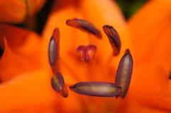 Fleur de Lilly Photos libres de droits