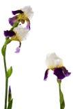 Fleur-de-lis. Iris. Three flowers isolated on white royalty free stock photography