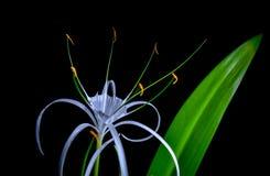 Fleur de lis blanc avec la petite araignée jaune Photographie stock libre de droits