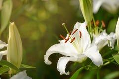 Fleur de lis blanc avec le lever de soleil de matin dans le jardin Photo stock