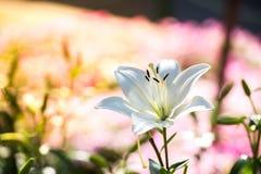 Fleur de lis blanc dans le jardin avec le bok jaune et rose de fleurs Photographie stock